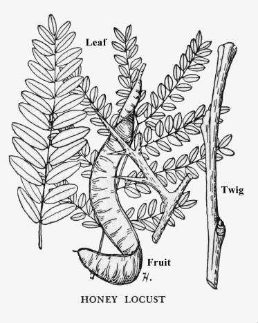 Honey locust tree sex
