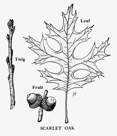 Red Oak Leaf Coloring Pages Coloring Pages